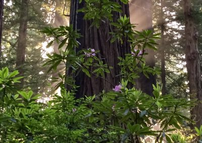 Redwood tree & Rhododenron