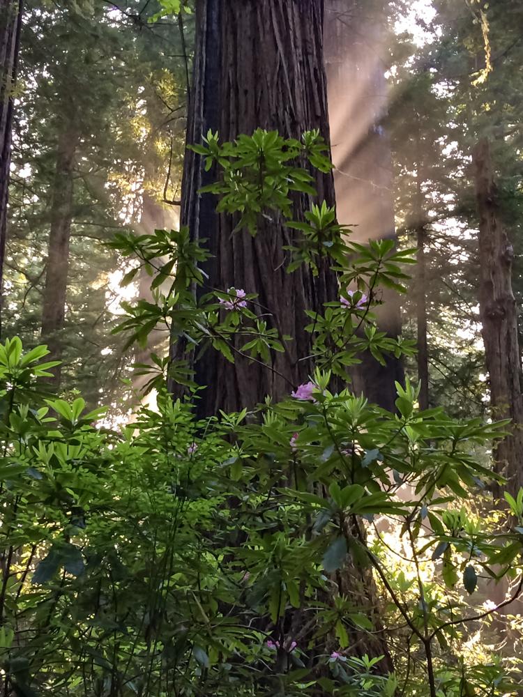 Redwood tree & Rhododenron