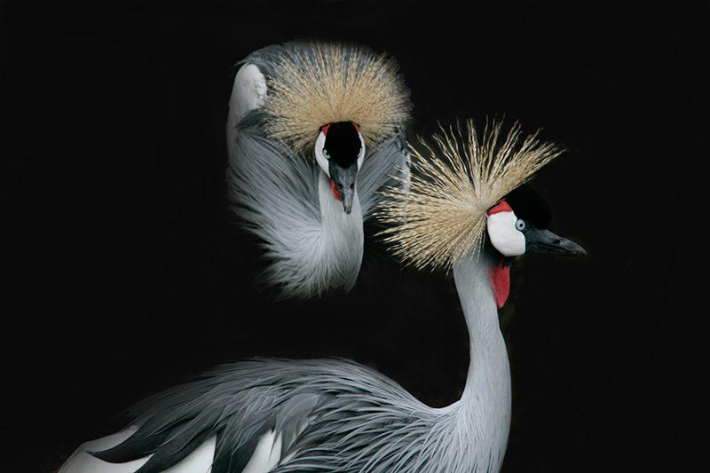 African Crowned Cranes