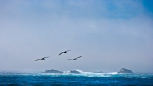 Pelicans flying over coast at Point Lobos california