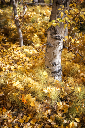 golden fall color leaves at base of aspen tree